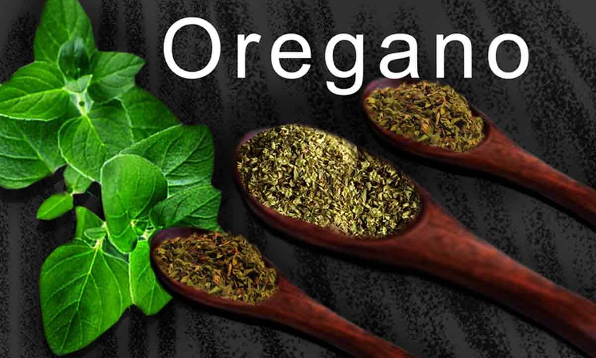 Oregano Health Benefits in Hindi